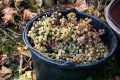 Cubo de uvas Imagen de archivo libre de regalías