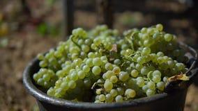 Cubo de uvas blancas en el viñedo metrajes