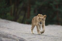Cubo joven del león del dar une vuelta del Panthera leo - Imágenes de archivo libres de regalías