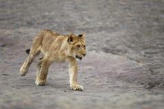 Cubo joven del león - Panthera leo - que camina en roca Imagen de archivo
