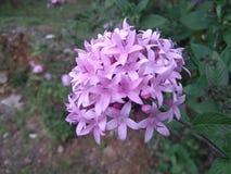 Cubo natural Sri Lanka de la flor Imagen de archivo libre de regalías