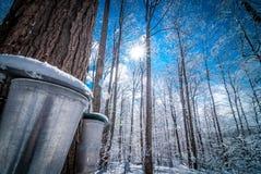 Cubos en bosque de un arce en marzo, consiguiendo listo para recoger la savia Fotografía de archivo