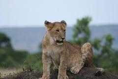 CubPanthera LeoSimba del leone nella lingua dello Swahili fotografie stock libere da diritti