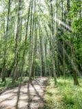 cubra con grava el camino en el bosque del árbol de abedul - vertical, dispositivo móvil listo Imagen de archivo