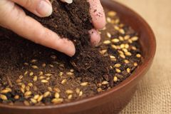 Cubra sementes com o solo para a colheita verde de Easter Fotografia de Stock