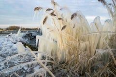 Cubren a Reed con los carámbanos en la orilla de un lago durante un encanto frío en invierno imagen de archivo