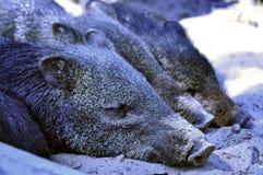 Cubs άγριων κάπρων που βρίσκονται στην ίδια σειρά Στοκ φωτογραφία με δικαίωμα ελεύθερης χρήσης
