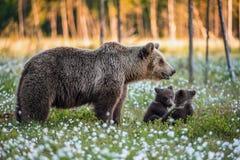 Cubs αυτή-αρκούδων και playfull αρκούδων Άσπρα λουλούδια στο έλος στο θερινό δάσος στοκ φωτογραφία με δικαίωμα ελεύθερης χρήσης