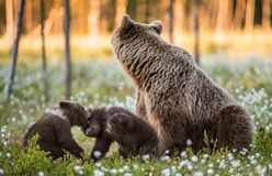 Cubs αυτή-αρκούδων και playfull αρκούδων Άσπρα λουλούδια στο έλος στο θερινό δάσος στοκ φωτογραφία