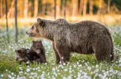 Cubs αυτή-αρκούδων και playfull αρκούδων Άσπρα λουλούδια στο έλος στο θερινό δάσος στοκ εικόνες με δικαίωμα ελεύθερης χρήσης