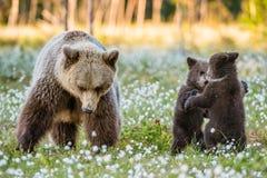 Cubs αυτή-αρκούδων και playfull αρκούδων Αφορτε Cubs τις στάσεις τα οπίσθια πόδια του στοκ φωτογραφίες με δικαίωμα ελεύθερης χρήσης