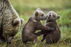 Cubs αυτή-αρκούδων και playfull αρκούδων Αφορτε Cubs τις στάσεις τα οπίσθια πόδια του στοκ εικόνα