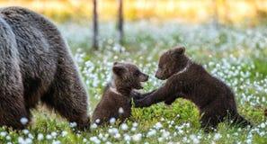 Cubs αυτή-αρκούδων και playfull αρκούδων στοκ εικόνες
