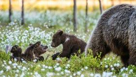 Cubs αυτή-αρκούδων και playfull αρκούδων στοκ εικόνα
