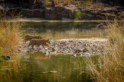 Cubs είναι στη ζούγκλα Στοκ Φωτογραφίες