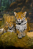 Cubs ιαγουάρων Στοκ φωτογραφίες με δικαίωμα ελεύθερης χρήσης