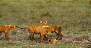 Cubs λιονταριών παιχνίδι Στοκ εικόνα με δικαίωμα ελεύθερης χρήσης