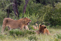 Cubs λιονταριών παιχνιδιού Στοκ φωτογραφία με δικαίωμα ελεύθερης χρήσης
