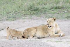 Cubs λιονταριών που παίζουν στη σαβάνα, Στοκ εικόνες με δικαίωμα ελεύθερης χρήσης