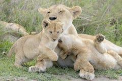 Cubs λιονταριών που παίζουν στη σαβάνα, Στοκ Εικόνες