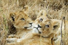 Cubs λιονταριών στη σαβάνα, εθνικό πάρκο Serengeti, Τανζανία Στοκ εικόνα με δικαίωμα ελεύθερης χρήσης