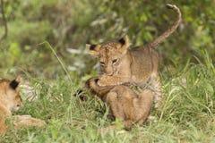 Cubs λιονταριών στο παιχνίδι Στοκ Φωτογραφία