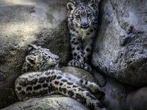 Cubs λεοπαρδάλεων χιονιού Στοκ Εικόνες
