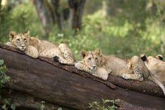 cubs λιοντάρι Στοκ Εικόνες