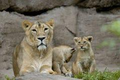 cubs λιοντάρι Στοκ φωτογραφίες με δικαίωμα ελεύθερης χρήσης