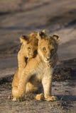 cubs λιοντάρι Στοκ Φωτογραφία