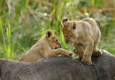 Cubs λιονταριών που αναρριχούνται στο σφάγιο πιό wildebeest Στοκ φωτογραφία με δικαίωμα ελεύθερης χρήσης