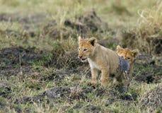 Cubs λιονταριών που αναρριχούνται omn στην κορυφή του αναχώματος Στοκ Φωτογραφία