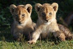Cubs λιονταριών, Serengeti Στοκ Φωτογραφίες