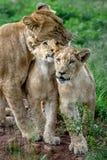 Cubs μητέρων λιονταριών Στοκ φωτογραφίες με δικαίωμα ελεύθερης χρήσης