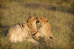 cubs παιχνίδι λιονταριών Στοκ φωτογραφία με δικαίωμα ελεύθερης χρήσης