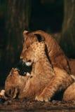 cubs παιχνίδι λιονταριών Στοκ εικόνα με δικαίωμα ελεύθερης χρήσης