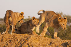 cubs παιχνίδι τρία λιονταριών Στοκ εικόνες με δικαίωμα ελεύθερης χρήσης