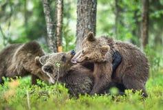 Cubs των καφετιά αρκούδων & x28 Ursus Arctos Arctos& x29  παιχνιδιάρικα παλεύοντας στοκ εικόνα