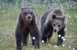 Cubs бурого медведя в лесе лета Стоковые Фотографии RF