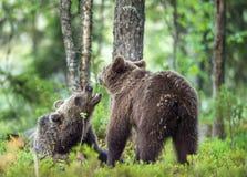 Cubs бурого медведя Стоковые Фотографии RF