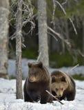 Cubs бурого медведя (arctos Ursus) на снеге Стоковые Изображения RF
