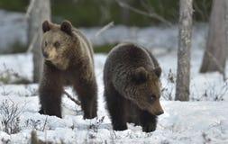 Cubs бурого медведя (arctos Ursus) на снеге Стоковые Фотографии RF