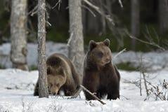 Cubs бурого медведя (arctos Ursus) на снеге Стоковое Фото