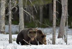 Cubs бурого медведя (arctos Ursus) на снеге Стоковое фото RF
