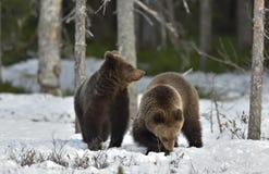 Cubs бурого медведя (arctos Ursus) после спячки на снеге Стоковое Фото