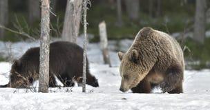Cubs бурого медведя (arctos Ursus) после спячки на снеге Стоковое фото RF