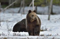 Cubs бурого медведя (arctos Ursus) Стоковые Фото