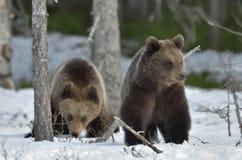 Cubs бурого медведя (arctos Ursus) Стоковое фото RF