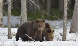 Cubs бурого медведя (arctos Ursus) Стоковые Фотографии RF