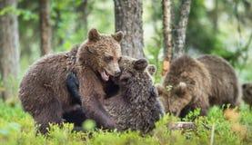 Cubs бурого медведя & x28; Ursus Arctos& x29; Стоковые Фото